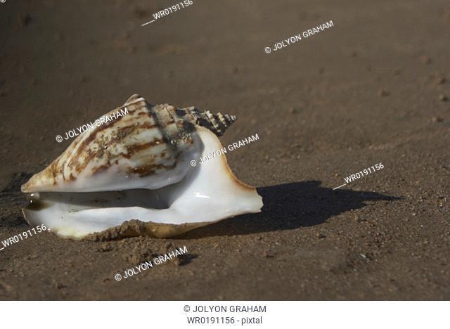 Shell on a beach Dahab Egypt