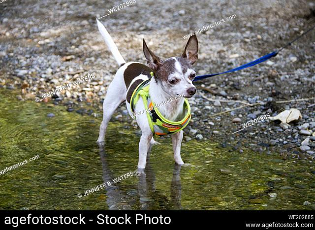 Male senior chihuahua outdoors at the Spokane River in Washington State