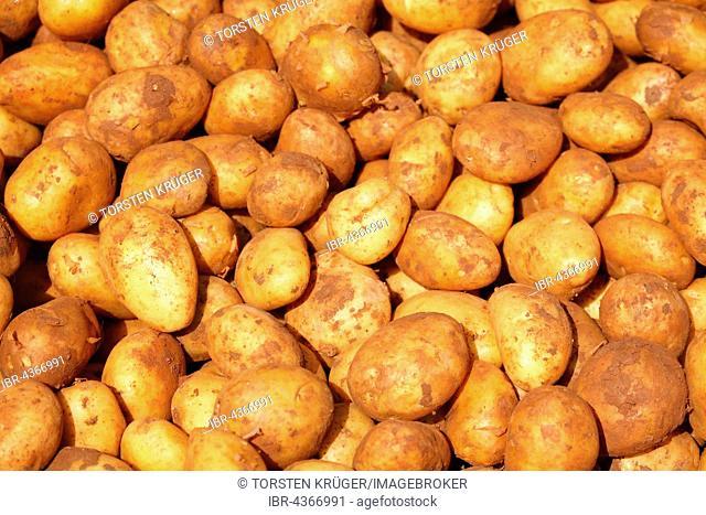 Fresh potatoes (Solanum tuberosum) at market stall, Bremen, Germany