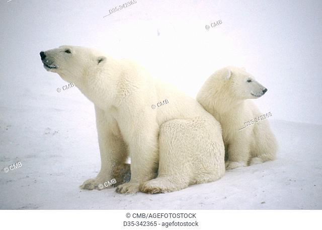 Polar bear (Ursus maritimus), mother and cub. Churchill. Manitoba, Canada