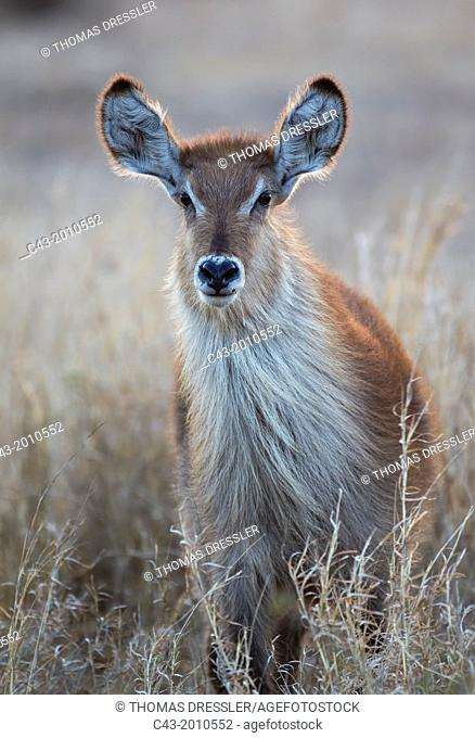Common Waterbuck (Kobus ellipsiprymnus) - Cow. Only bulls have horns. Kruger National Park, South Africa
