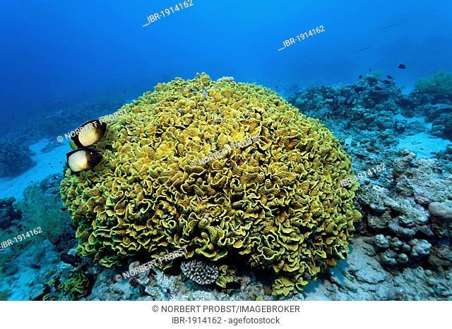 Couple Dusky Angel or Yellow-Ear-Angelfish (Apolemichthys xanthotis), above Yellow scroll coral (Turbinaria reniformis), Makadi Bay, Hurghada, Egypt, Red Sea