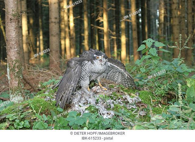 Goshawk (Accipiter gentilis) standing on tree stump gorging on Grey- or English Partridge (Perdix perdix)