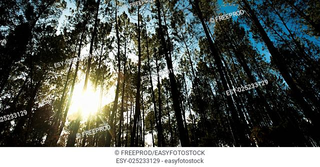 Beautiful sunbeams in beach forest, Landes, France