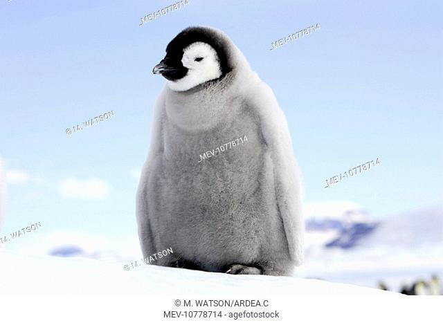 Emperor Penguin - chick (Aptenodytes forsteri)