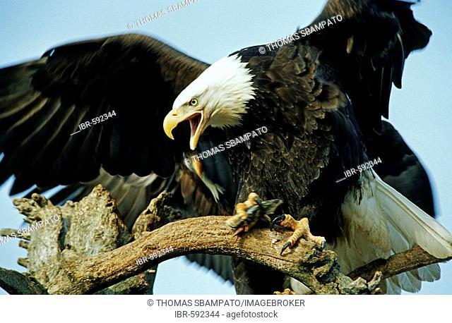 Bald Eagle (Haliaeetus leucocephalus) calling Alaska