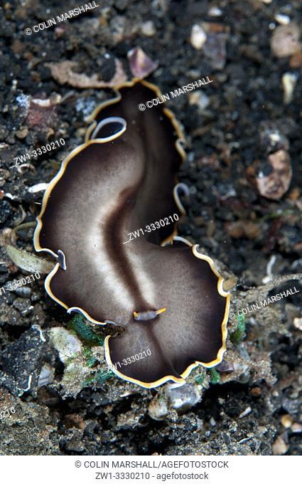 Margined Flatworm (Callioplana marginata, Callioplanidae family), night dive, TK1 dive site, Lembeh Straits, Sulawesi, Indonesia
