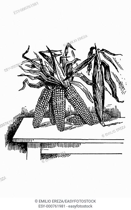 Ears of corn. Old book illustration, 1900