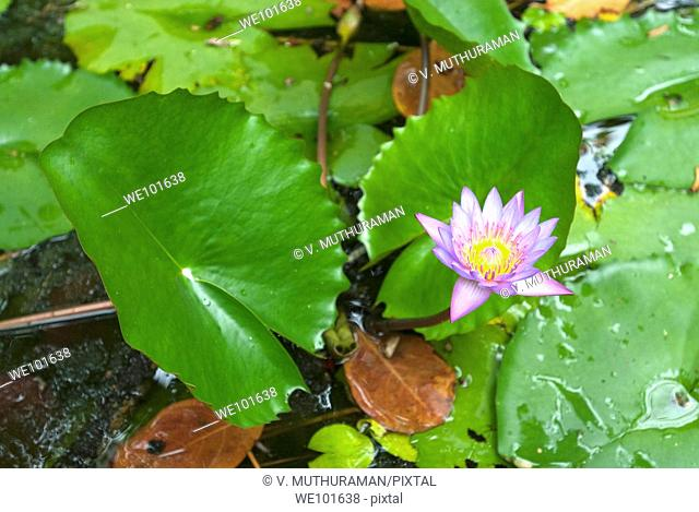 Purple water lily in Alleppey, Alappuzha, Kerala, India