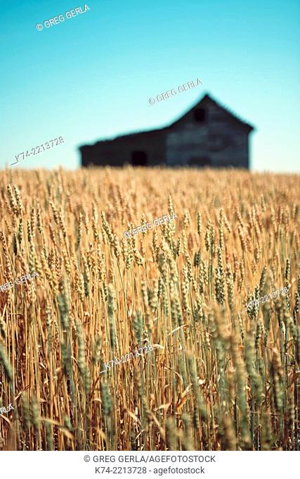 Old abandoned farmhouse in wheatfield