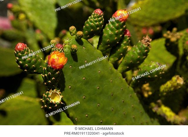 Indian Fig Opuntia, Prickly Pear, Opuntia ficus-indica