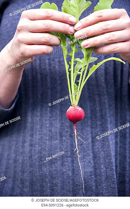 A woman gardener holding a freshly picked single radish by the leaves in front of her sweater