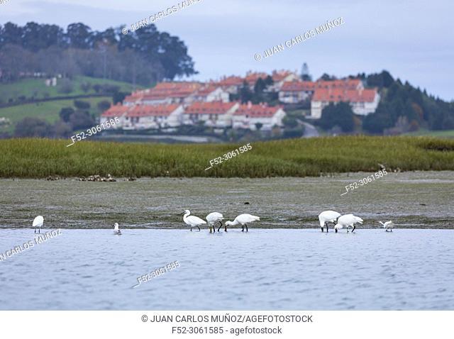 Eurasian spoonbill or common spoonbill (Platalea leucorodia), Little egret, Marismas de Santoña, Victoria y Joyel Natural Park, Colindres, Cantabria, Spain