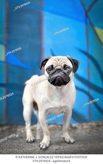 Portrait of a pug standing in front of a mural