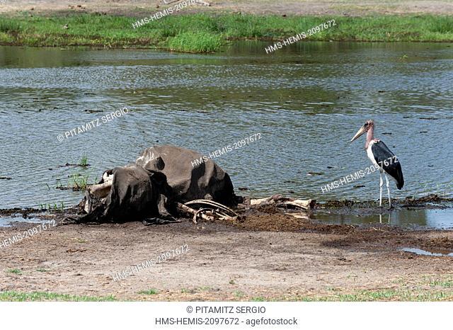 Botswana, Okavango delta, listed as World Heritage by UNESCO, Khwai Concession Area, Marabou stork (Leptptilos crumeniferus)