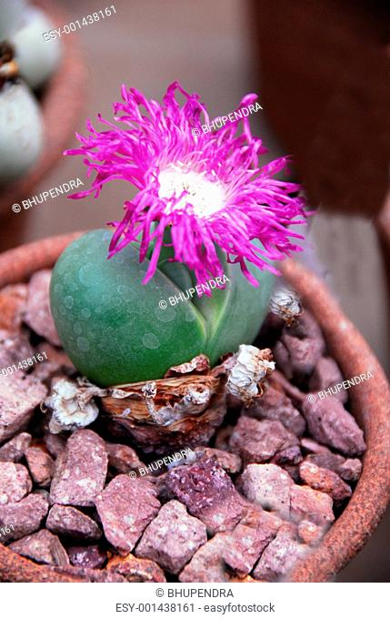 Lithops argyraderma plant
