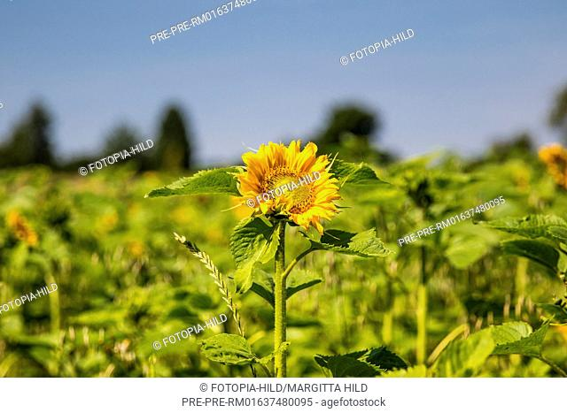 Sunflowers at Feldmark near Dransfeld, Samtgemeinde Dransfeld, Göttingen District, Lower Saxony, Germany, summer 2017 / Sonnenblumenfeld in der Feldmark bei...