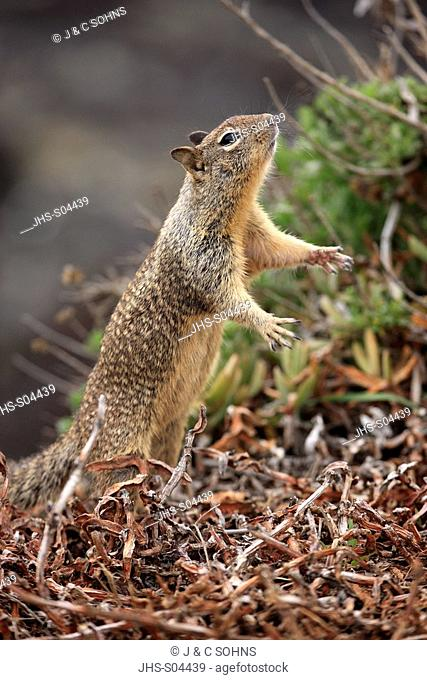 California Ground Squirrel,Citellus beecheyi,Monterey,California,USA,adult searching for food