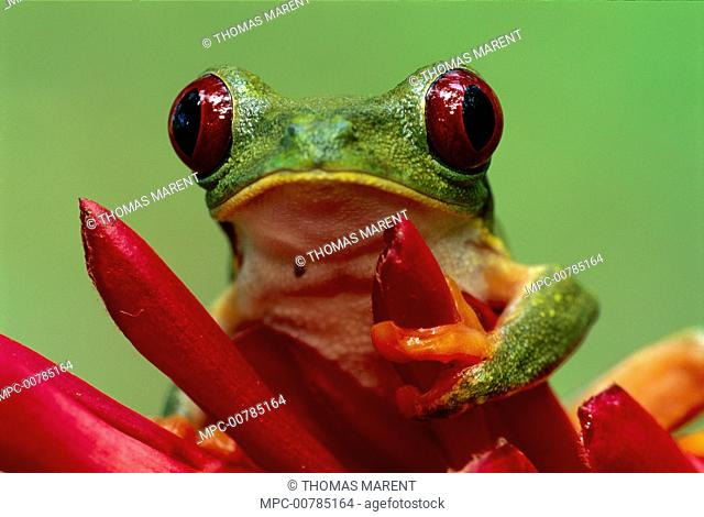Red-eyed Tree Frog (Agalychnis callidryas) on Heliconia (Heliconia sp) flower, Cahuita National Park, Costa Rica