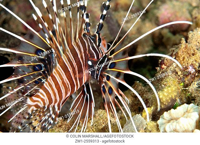 Spotfin Lionfish (Pterois antennata) with parasites under fin, Laha dive site, Ambon, Indonesia