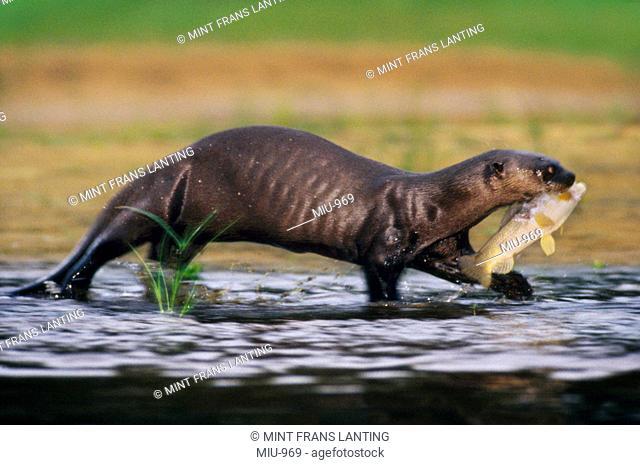 Giant otter carrying fish, Pteronura brasiliensis, Pantanal, Brazil