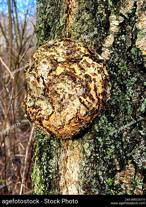Huge gall on the trunk of a tree in Ystad, Scania, Sweden