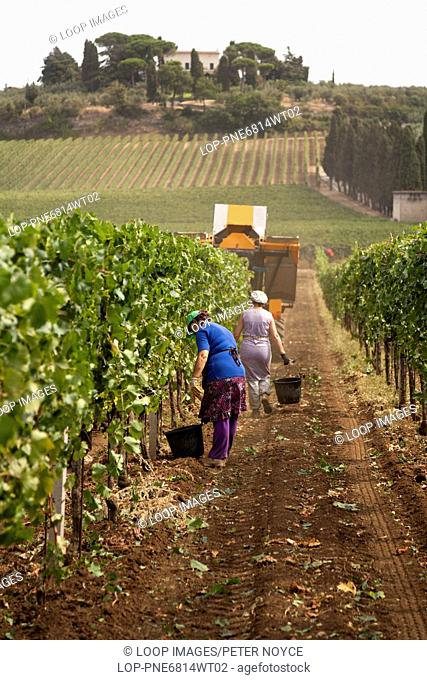 Hand grape pickers following the mechanical harvester harvesting wine grapes in Frascati in Italy