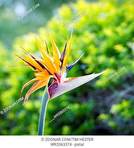 Bird Of Paradise flower (Strelitzia reginae) in full bloom in tropical garden