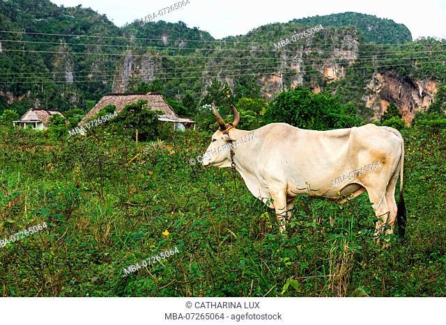 Cuba, Valley of Vinales, Valle de Vinales, cattle