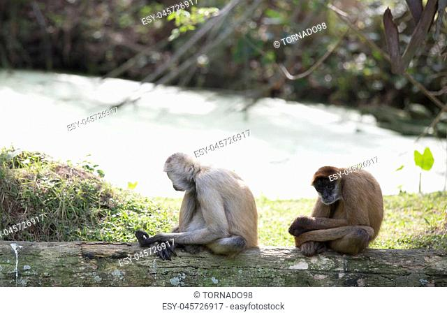 Geoffroy's spider monkeys relaxing on a log