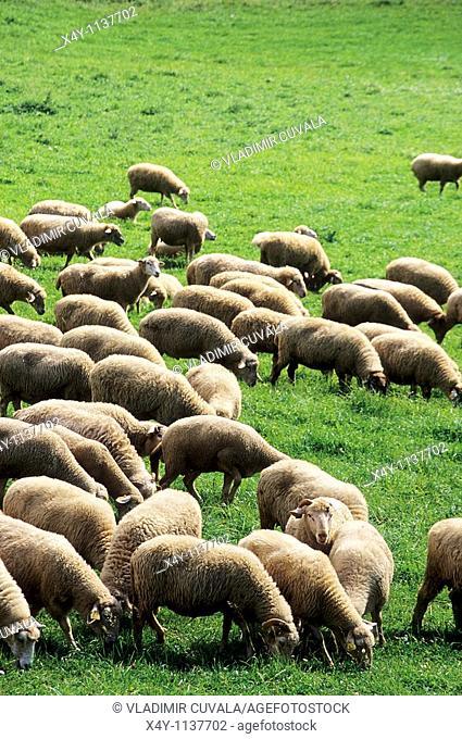 Herd of sheep, Chocske vrchy, Slovakia
