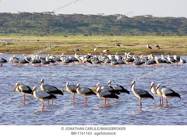 European Storks (Ciconia ciconia), Lake Ndutu, Serengeti, Tanzania, Africa