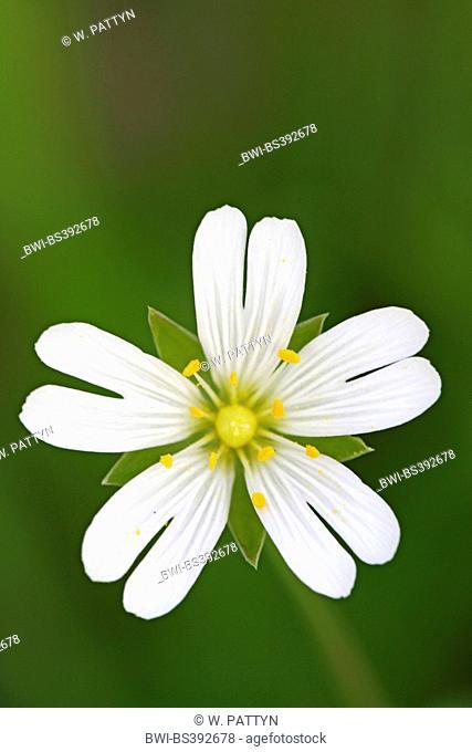 easterbell starwort, greater stitchwort (Stellaria holostea), flower, Belgium
