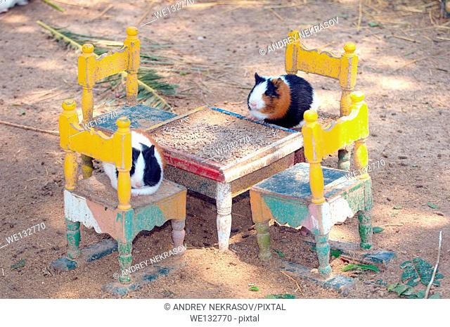 Guinea pigs (Cavia porcellus) sitting on miniature chairs at a miniature table, Tunis, Africa