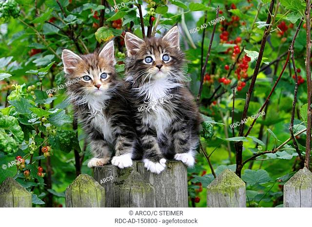 Maine Coon Cats kittens on fence
