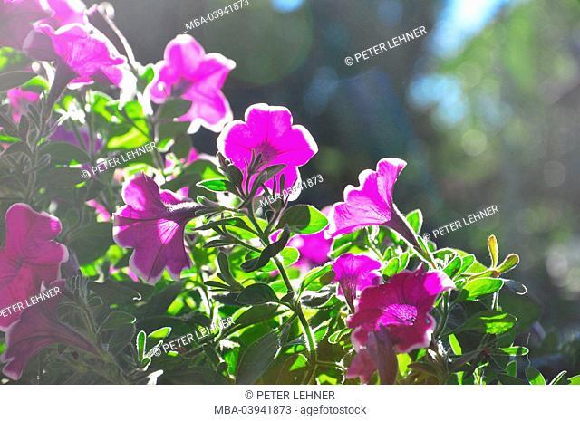 Flora, Petunia, blossom, pink-coloured