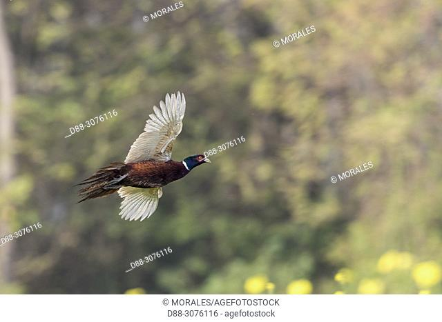 France, Bas Rhin, Common Pheasant (Phasianus colchicus), male in flight