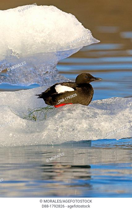 Norway , Spitzbergern , Svalbard , Black Guillemot Cepphus grylle adult, summer plumage, sitting on ice floe