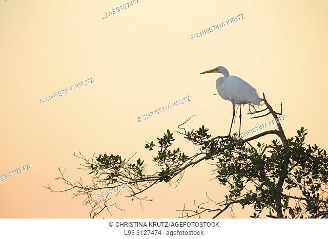 Great egret, Egretta alba, on tree