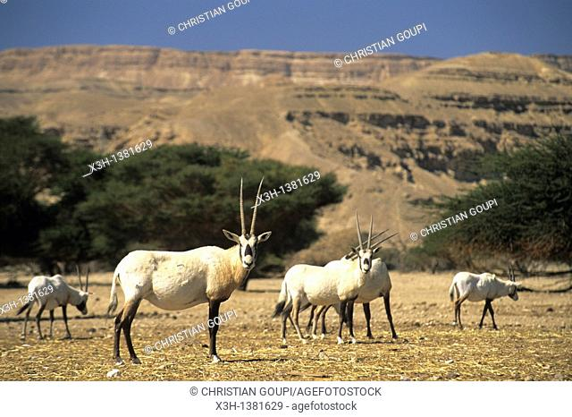 herd of Arabian Oryx, Hai-Bar Yotvata Reserve, Arava Valley, Negev, Israel, Middle East, Western Asia