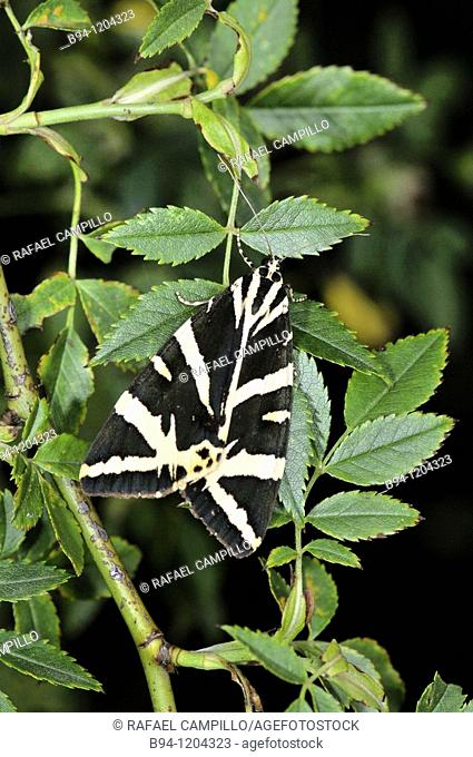 Jersey Tiger moth (Euplagia quadripunctaria, fam. Arctiidae). Osseja, Languedoc-Roussillon, Pyrenees Orientales, France