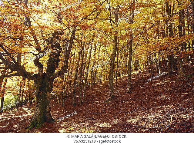 Autumn in the beech forest. Hayedo de Montejo, Sierra del Rincon, Montejo de la Sierra, Madrid province, Spain