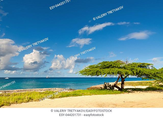 Divi-divi tree on Aruba. Tropical sea beach