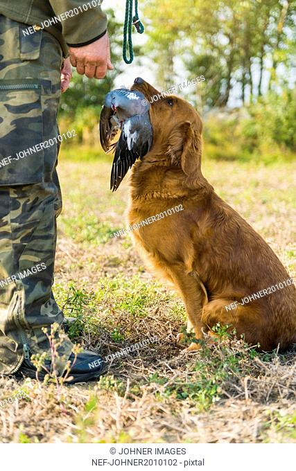 Dog giving dead bird to hunter