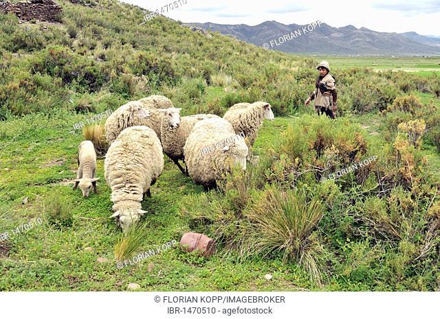 Shepherd boy guarding sheep, Altiplano Bolivian highland, Oruro Department, Bolivia, South America