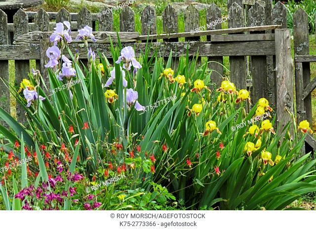 columbines and irisis