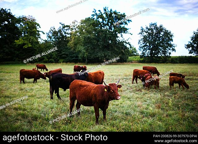 """19 August 2020, Baden-Wuerttemberg, Kappel-Grafenhausen: A group of cattle is standing on a pasture. On the so-called """"""""wild pastures"""""""" near Kappel-Grafenhausen"""