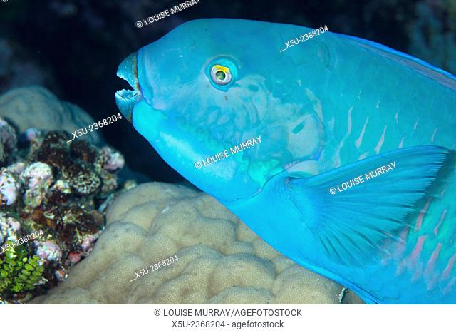 Indian steephead parrotfish, Scarus strongycephalus, beak open feeding