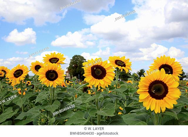 common sunflower (Helianthus annuus), sunflower field, Germany