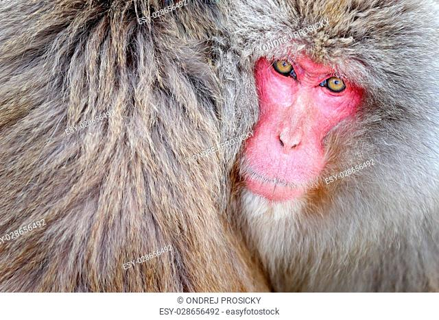 Monkey Japanese macaque, Macaca fuscata, detail red face portrai